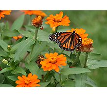 A Monarch Making the Rounds Photographic Print