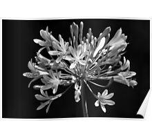 B&W flower Agapanthus 7452 Poster