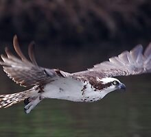 Flight of an Osprey by Karen  Moore