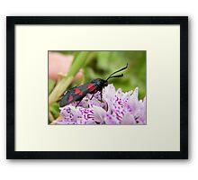 Black n Red moth (Burnett, apparently) Framed Print