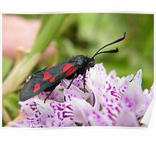 Black n Red moth (Burnett, apparently) Poster