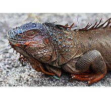 Common Iguana (Iguana iguana) Photographic Print