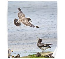 Pacific Gull (imm) Poster