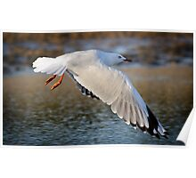 Silver Gull wings at full stretch Poster