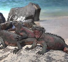 Marine Iguana I by Paul Duckett