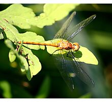 Yellow Dragonfly Photographic Print
