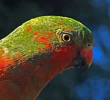 Male King Parrot (almost mature)  by Bev Pascoe