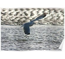 Seagull in flight-Port Hedland WA Poster