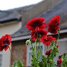 Poppies ................. by lynn carter