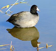 American Coot by Sherry Pundt