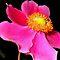 Purely Pink Petals!