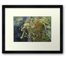 Leafy Seadragon 2 Framed Print