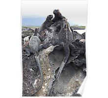 Galapagos iguanas Poster