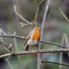 Robin showing his best side by Chris Monks