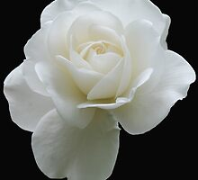 White rose by Rebecca Sealey