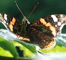Red Admiral by brianfuller75