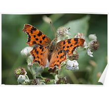 Comma Butterfly on Flower Poster
