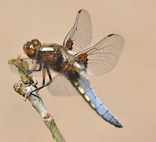 Dragonfly in the Sun by brianfuller75