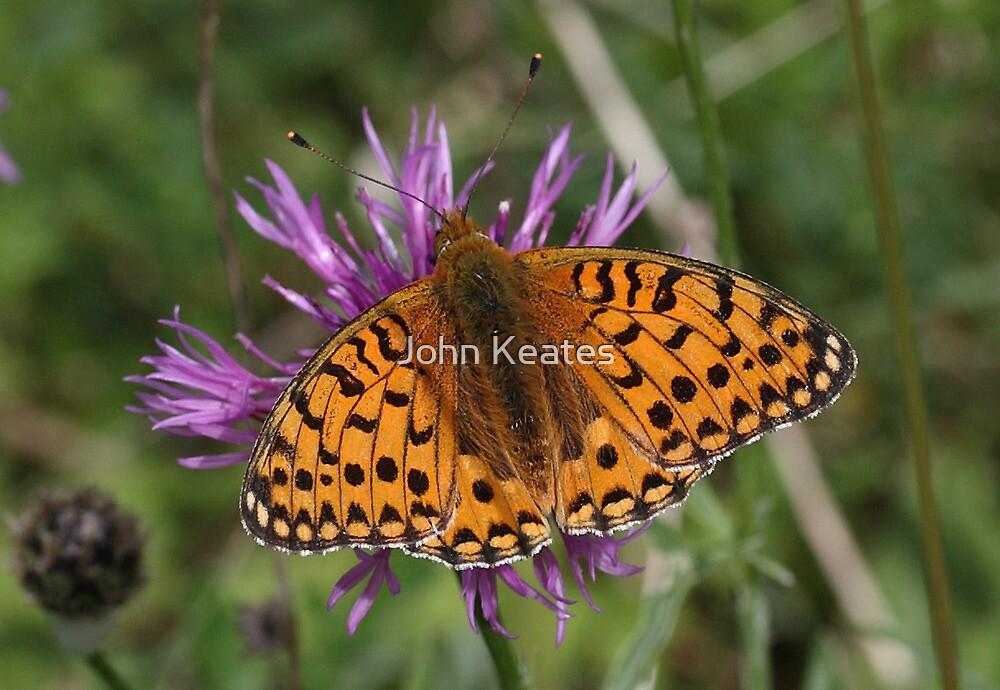 Pearl Bordered Fritillary Butterfly by John Keates