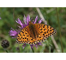 Pearl Bordered Fritillary Butterfly Photographic Print