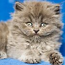 British Shorthair by Chris Muscat