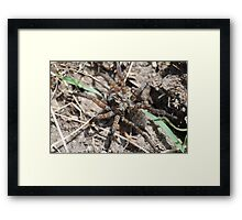 Wolf Spider in Kansas Framed Print