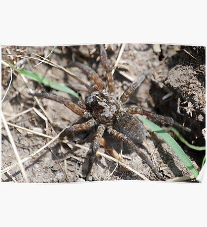 Wolf Spider in Kansas Poster