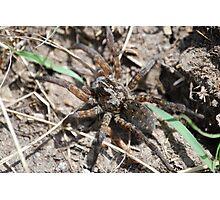 Wolf Spider in Kansas Photographic Print