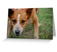 Focused Cattle Dog Mix Greeting Card