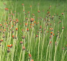 Devil's paintbrushes by Chickapeek