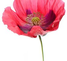 Red Poppy by Alyson Fennell