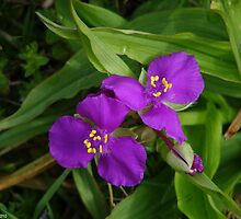 Wildflower Fuchsia Spiderwort II - Hot Springs National Park, Arkansas by Lee Hiller