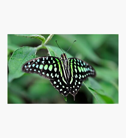 Butterfly Gems - Green Jay Photographic Print