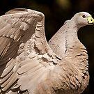 Cape Barron Goose 2 by Danielle  Miner
