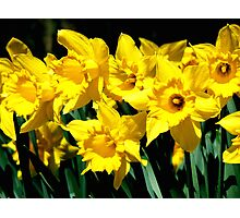 Dancing Daffodils Photographic Print