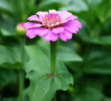 Beautiful Little Lilac Zinnia by kkphoto1