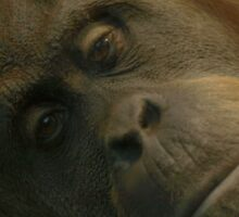 Female Orang Utan Sticker
