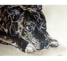 Staffordshire Bull Terrier portrait by db Artstudio - Debbie Boyle Photographic Print