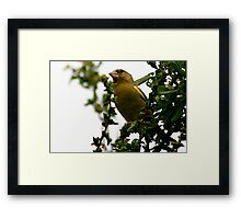 The Greenfinch Framed Print