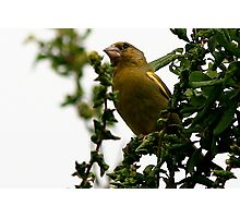 The Greenfinch Photographic Print
