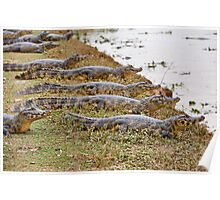 group of yacare caimans Poster
