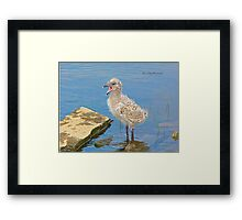 Chick Looking for Mum (Baby Seagull) Framed Print
