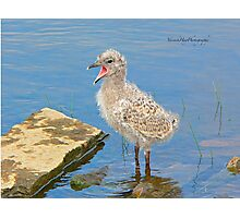 Chick Looking for Mum (Baby Seagull) Photographic Print