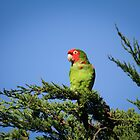 green parrot of telegraph hill by kisstiger
