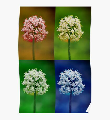 Four Colorful Onion Flowers Poster