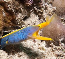 Blue Ribbon Eel, North Sulawesi, Indonesia by Erik Schlogl
