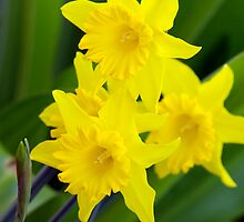 Daffodils by Aussiebluey
