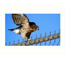 Hawk on a Fence... Art Print