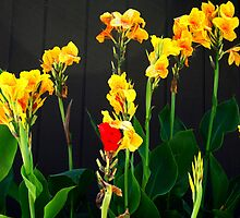 Bright & Beautiful Canna Lilies  by Heather Friedman
