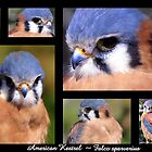 American Kestrel ~ Raptor Series by Kimberly P-Chadwick